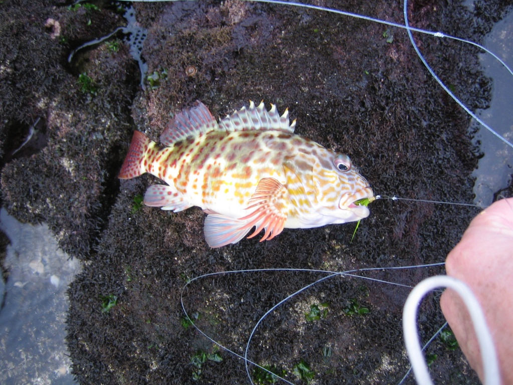 Freshwater fish in hawaii - Spotted